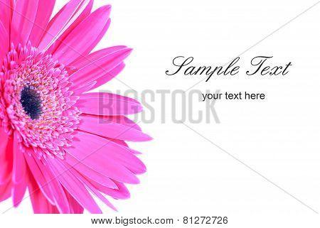 Purple Flower Gerbera
