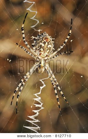 Spider Argiope Lobed On The Web