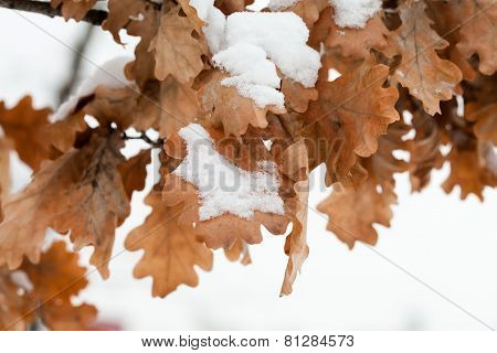 Snow On Oak Leaves. Snow-covered Autumn Leaves.