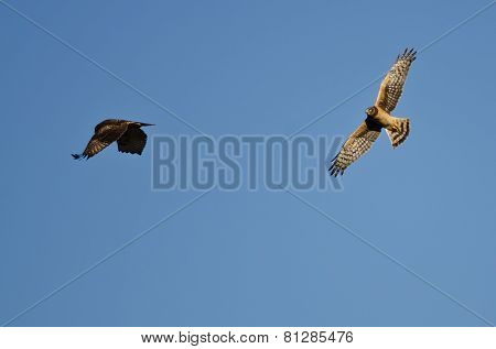 Aerial Combat Between A Northern Harrier And Red-tailed Hawk