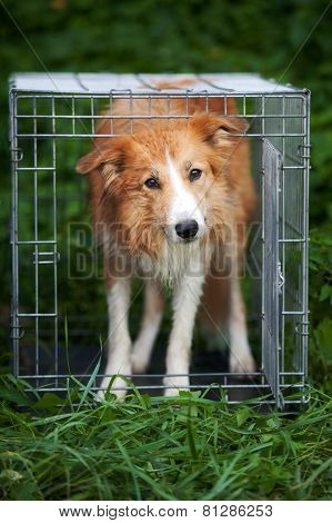 Red Border Collie Dog Standing In Cage
