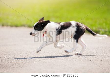 Puppy Border Collie Running
