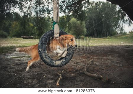 Red Dog Border Collie Jumping Through A Tire