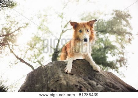 Red Border Collie Dog Lying On A Log