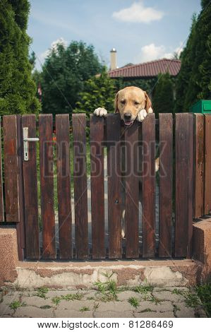 Labrador Dog Peeping From Behind A Fence