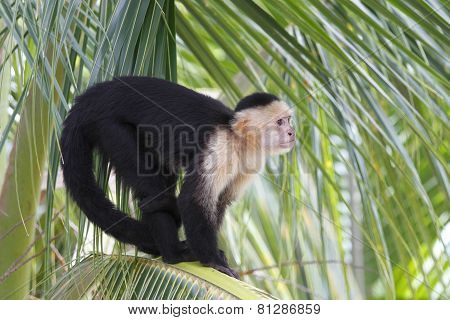 White-headed Capuchin Monkey Sitting In A Palm Tree