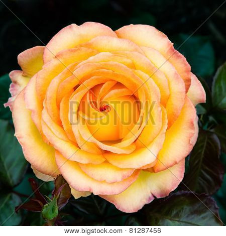 Yellow And Red Bicolored Rose