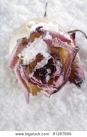 Fallen rose frosted on ice cover