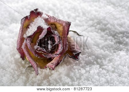 Fallen rose frosted on ice