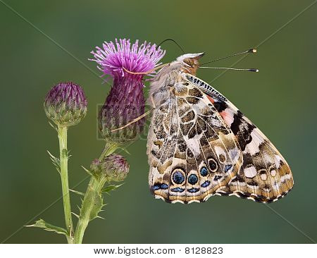 Painted Lady On Canadian Thistle