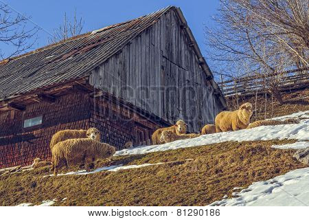 Wooden Hut And Grazing Sheep