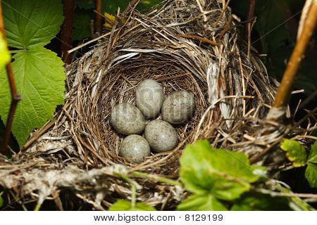 The Nest Of The Blyth's Reed Warbler , Acrocephalus Dumetorum