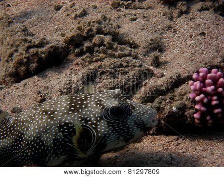 pufferfish eyes