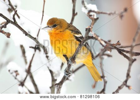 Baltimore Oriole (icterus Galbula) In A Tree