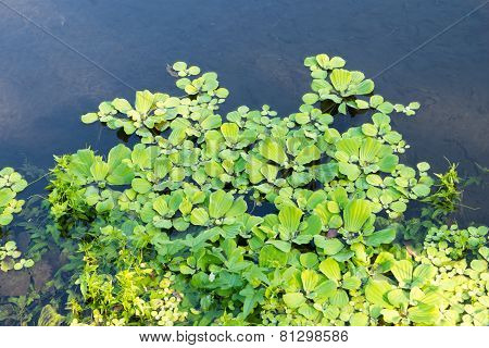 Duckweeds Floating On Water At Lagoon