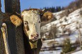 picture of cow head  - Portrait of brown horned young cow with white head and bell looking at camera in wintertime - JPG