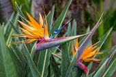stock photo of bird paradise  - Two Birds of Paradise on the island of Maui - JPG