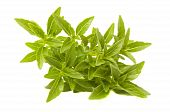foto of piccolo  - A bunch of piccolo basil isolated on a white background - JPG