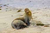 stock photo of sea lion  - baby sea lion and mother in san cristobal galapagos islands ecuador - JPG