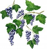 stock photo of bine  - three branches of black currants drawing by watercolor - JPG