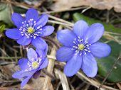 foto of violet flower  - Violet forest flower Hepatica nobilis  - JPG