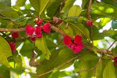 foto of malay  - Pomerac or Malay Apple pink blooming flower - JPG