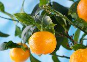 foto of tangerine-tree  - Ripe tangerines on a tree branch - JPG
