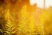 stock photo of goldenrod  - Blooming goldenrod  - JPG