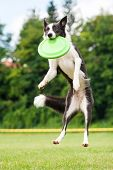 pic of toy dogs  - Border collie dog catching frisbee in jump in summer - JPG