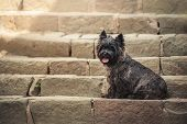 stock photo of staircases  - Cairn Terrier sitting at old staircase in Szentendre summer - JPG