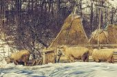 picture of haystack  - Winter rural scene with sheep and haystacks in a traditional Romanian sheepfold in Magura village Brasov county Romania - JPG