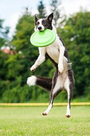 image of frisbee  - Border collie dog catching frisbee in jump in summer - JPG