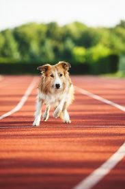 stock photo of dog tracks  - Dog running at sport stadium in summer - JPG