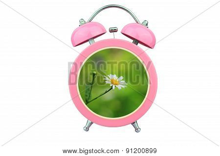 Conceptual Art : Time To Relax : White Cosmos Flower Within Pink Alarm Clock Isolated On White Backg