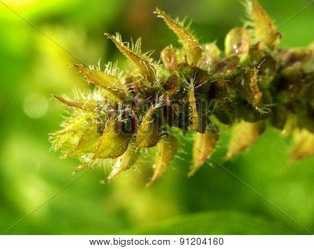 Water droplets in Basil flower