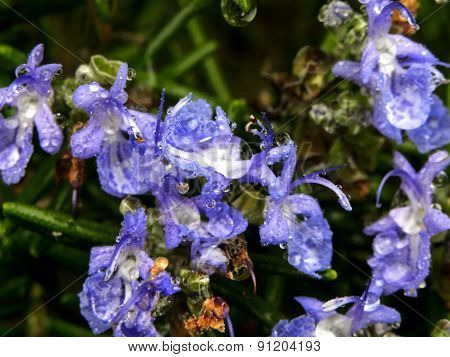 Water droplets on Rosemary flowers