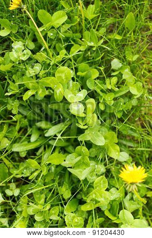 Green Clover Undergrowth