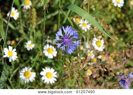 Chamomile and cornflower
