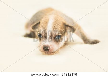 Chinese crested dog puppy on a light background