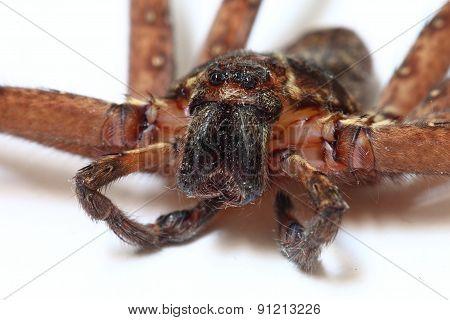Heteropoda venatoria spider