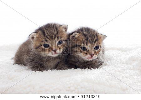 Striped Kittens