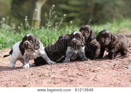 Puppies Of German Quail Dog