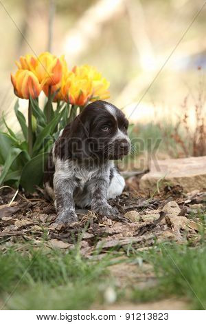 Beautiful Puppy Of German Quail Dog