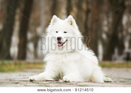 Samoyed dog lying in the park on a natural background
