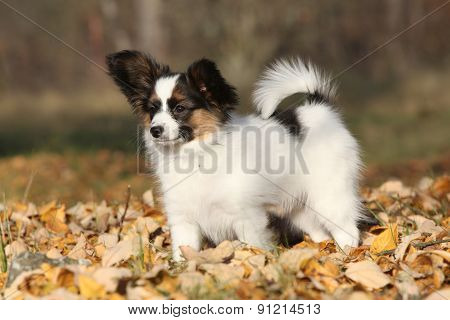 Amazing Paillon Puppy In Autumn