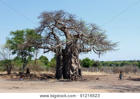Majestic Baobab Tree