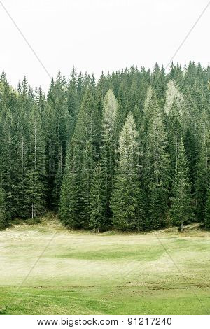 Alpine Pasture And Healthy Forest Of Coniferous Trees