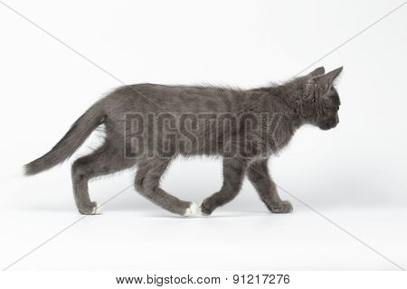 Gray Kitty Walking On White Background