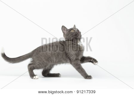 Playful Gray Kitty Raising Paw And Looking Up On White