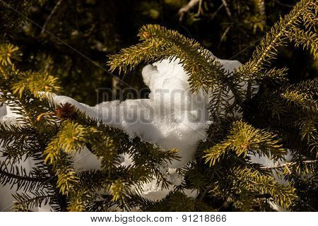 Evergreen Fir Branch
